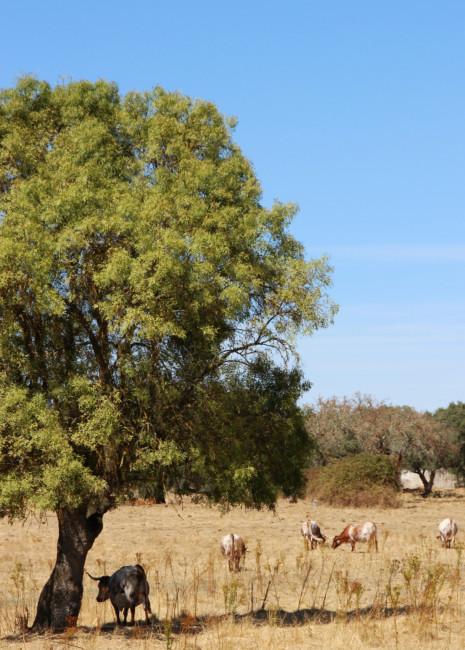 Allevamento di mucche Alentejo Portogallo.
