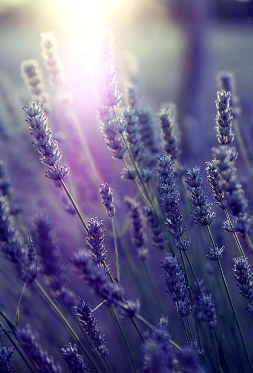 Meaning of flowers, lavender.