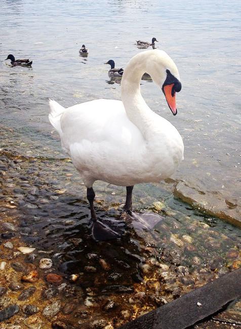 Cigno - Swan.