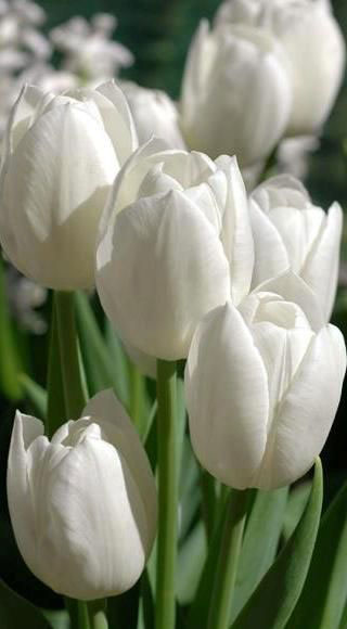 Meaning of flowers, tulips.