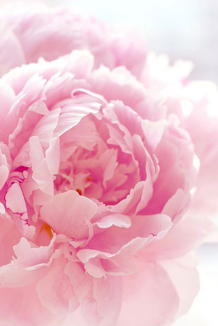 Meaning of flowers, peony.