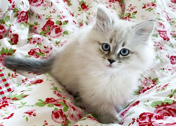 Siberian cat puppy.