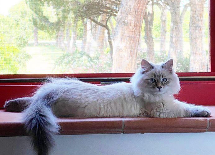 Guida completa sul gatto siberiano.