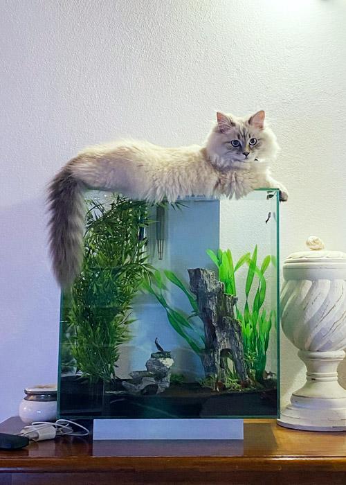 Esperienza personale con un gatto siberiano.