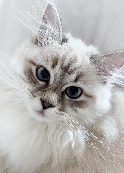 Gatto siberiano.