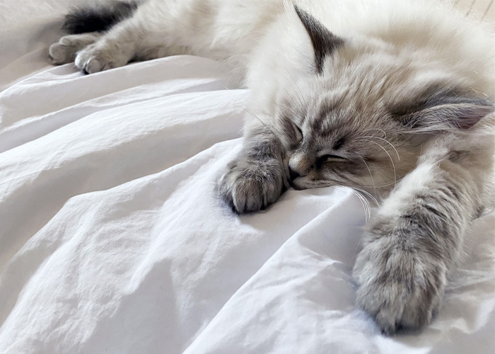 Tutto quello che c'è da sapere sul gatto siberiano.